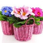 Горшечные цветы