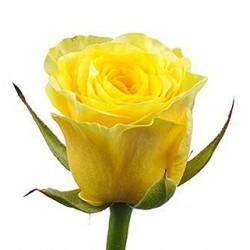 60/роза местная
