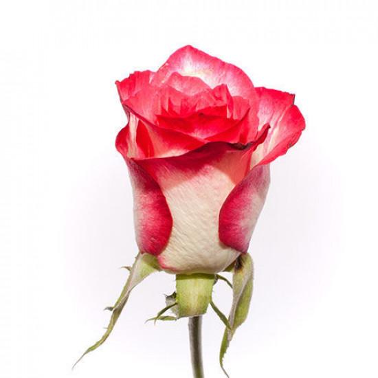 50/роза  Эквадор
