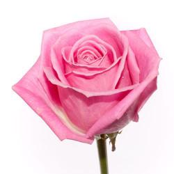 60/роза  Эквадор