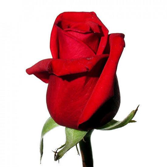 70/роза  Эквадор
