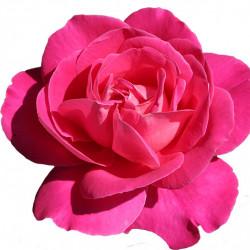 80/роза  Эквадор