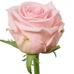 50/роза местная