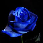 Радужная роза